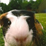 Seph Guinea Pig Patient Belle Mead Animal Hospital