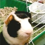Seph Guinea Pig Patient Belle Mead Animal Hospital