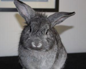 Ashley adoptable Rabbit Belle Mead Animal Hospital