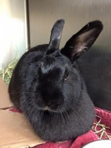 Rabbit for Adoption Belle Mead Animal Hospital