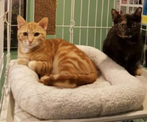 Snap and Pop CAPIC adoptable cats