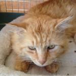 Brendan, an adoptable CAPIC cat