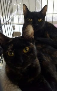 CAPIC adoptable cats Sassy and Simone
