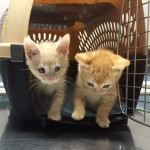 CAPIC kittens for adoption