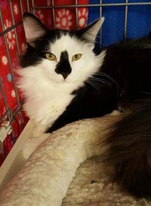 Felicia Adoptable CAPIC cat Belle Mead Animal Hospital