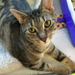 Phoebe CAPIC cat available for adoption