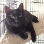 Piper an adoptable cat through Cats Only Inn Felines First Inc. Belle Mead Animal Hospital