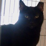 Samantha an adoptable cat through Cats Only Inn Felines First Inc. Belle Mead Animal Hospital