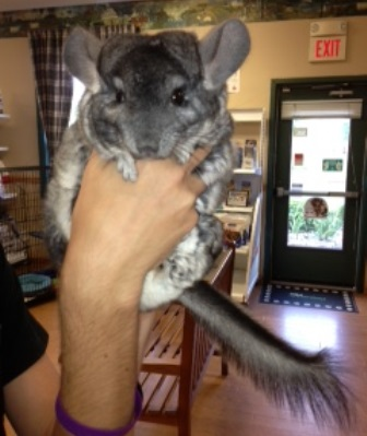 Chinchi the Chinchilla