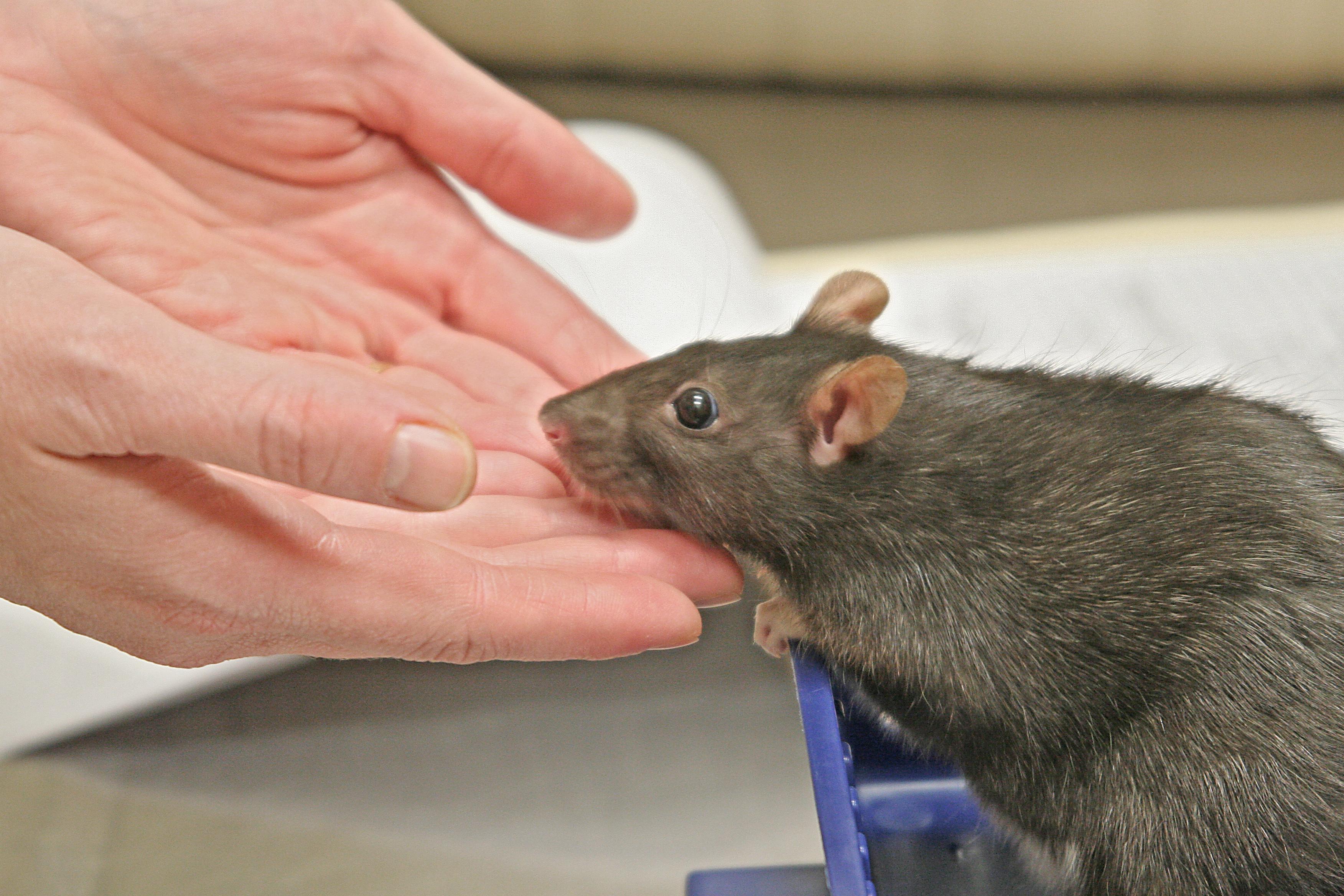 Pet Rat Exotic Companion Mammal