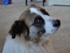 Pet Insurance saves pet lives