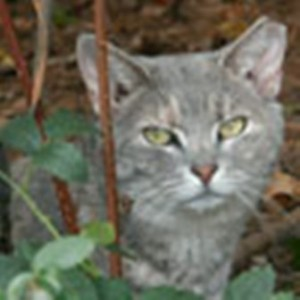 Feral cat, TNR'd with ear tip. Photo credit Alley Cat Allies
