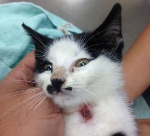 Kitten with Cuterebrosis infection