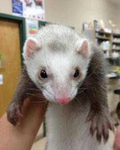 Ferret patient at Belle Mead Animal Hospital