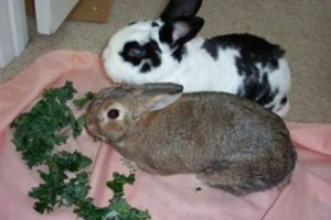 Rabbits eating greens