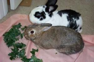 Rabbits eating greens