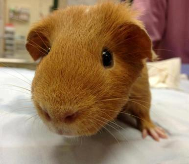 Guinea pig at Belle Mead Animal Hospital