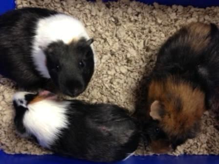 Guinea pig patients at Belle Mead Animal Hospital