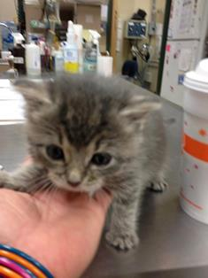 Kitten patient at Belle Mead Animal Hospital
