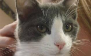 CAPIC rescue cat adopted through BMAH
