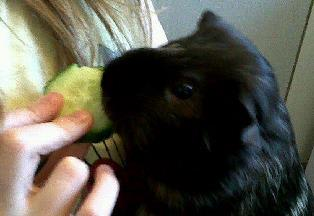Guinea Pig eating cumcumber