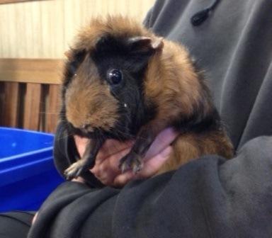 Yoshi, a Guinea pig patient at BMAH