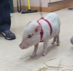 Hamlet, a Pot Bellied Pig patient at Belle Mead Animal Hospital
