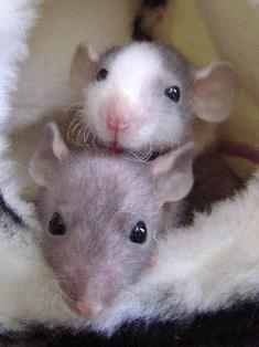 Rats Elliot and Avery earliest photo