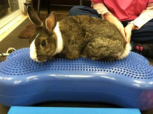 Jem the Rabbit under rehab therapy