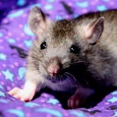 Agouti Baby Rat