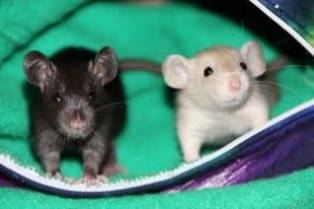 Rat babies in a hammock