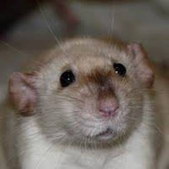 Siamese Dumbo Rat