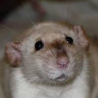 Siamese Dumbo Rat