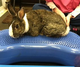 Rabbit patient at Belle Mead Animal Hospital