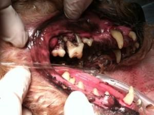 Canine dental black gum disease