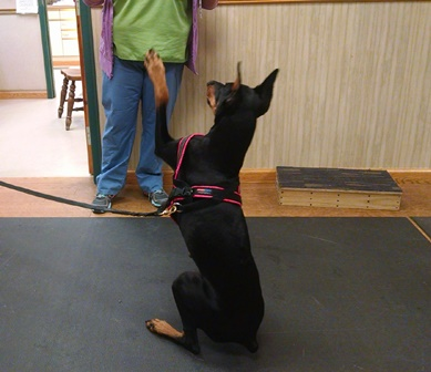 Dog Berlin saying hello while demonstrating therapeutic exercises at Open House at Belle Mead Animal Hospital