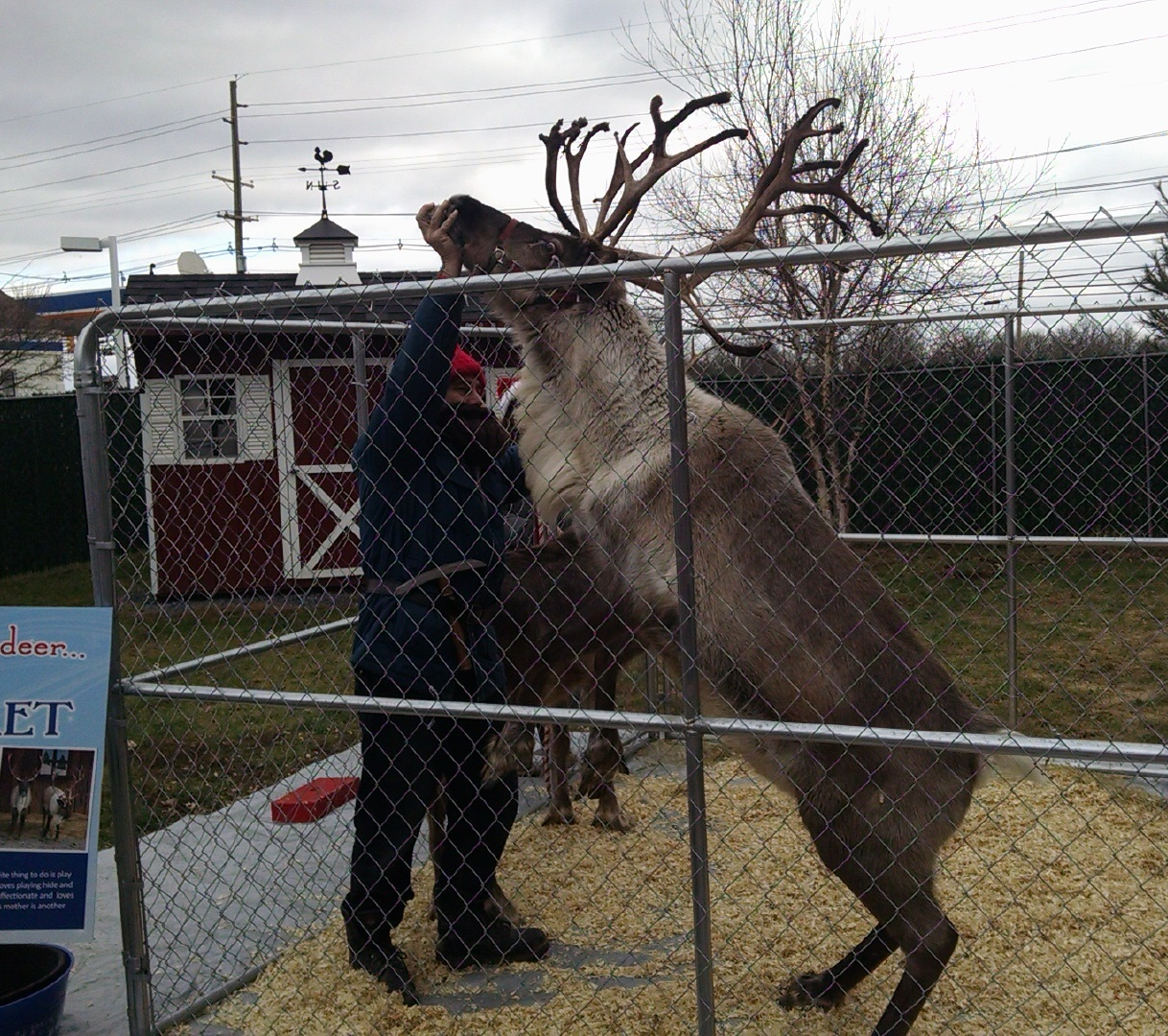 Reindeer Fetch dancing at 2014 Reindeer event and Open House Belle Mead Animal Hospital