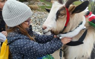 Dallas the Goat greets guest a Belle Mead Animal Hospital's December 2014 Open House Event