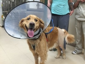 Cody, a Golden Retriever patient at Belle Mead Animal Hospital