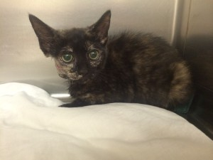 Kitten doing GREAT after Cuterebra removed from face at Belle Mead Animal Hospital