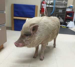 Edison Pot Bellied Pig Patient Belle Mead Animal Hospital