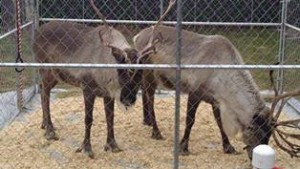 Reindeer at Belle Mead Animal Hospital Open House event