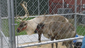 Reindeer Jingles and Nibbles