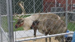 Reindeer Jingles and Nibbles