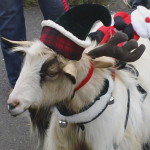 Dallas the goat at Belle Mead Animal Hospital 2015 Reindeer Event