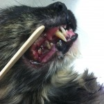 Grade 4 dental disease - Belle Mead Animal Hospital