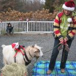 Dallas the goat at Belle Mead Animal Hospital Live Reindeer event