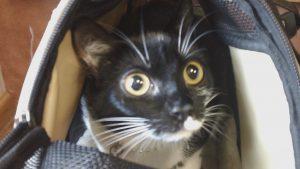 Cat at Belle Mead Animal Hospital Dental Seminar May 2017