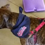 dog with Somerset Patriots bandanna