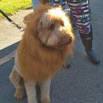 Lion dog at Howl-O-Ween